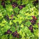 Виноградный фон