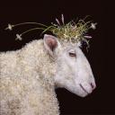 красавица овечка