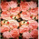 розовый розовый фон