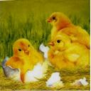 цыплята 25 х 25