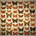бабочки Caspari