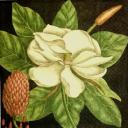 манголия