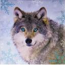 Волк голубоглазый