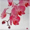 орхидеи FASANA