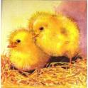 цыплята на соломе