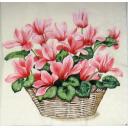 Цикломены розовые