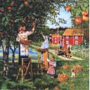 Урожай яблок. Швеция