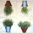пряные травы в горшках